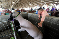 Spotlight on sheep at annual show